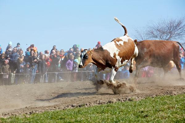 Oplev øko-køerne danse til Økodag over hele landet
