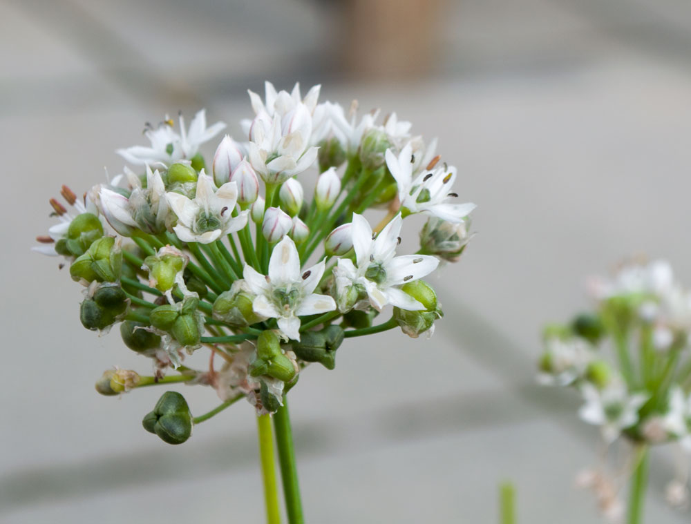 Kinesisk purløg, som snart smider frø